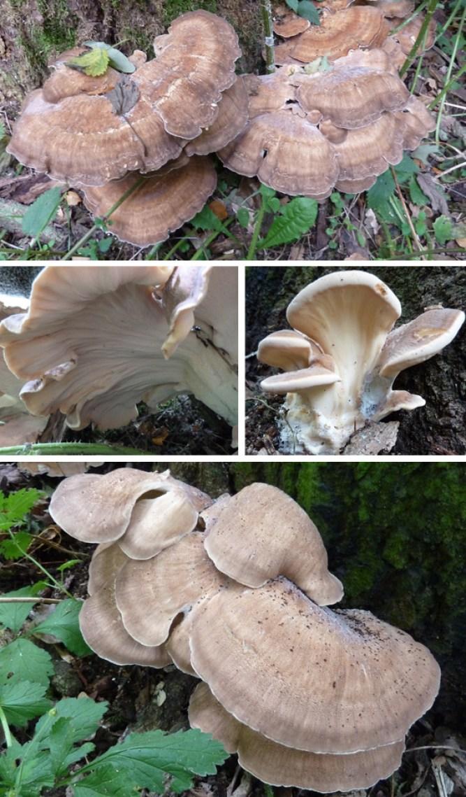 Polyporus giganteus. Giant Polypore