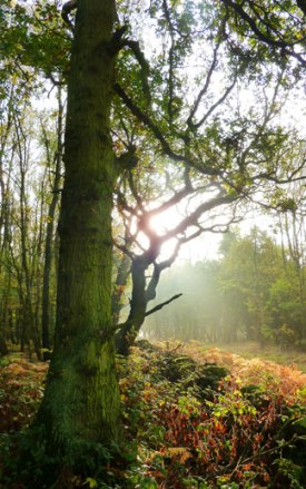Early Morning Woodland Sunshine