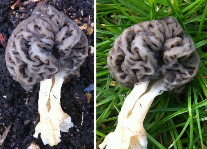 Grey Morel