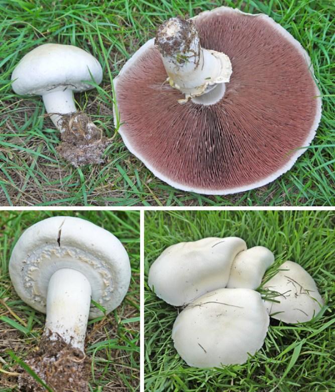 Horse mushroom pictures
