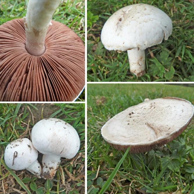 Field Mushroom - Common UK Mushroom