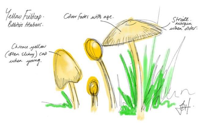 Mushroom sketch - Bolbitius species