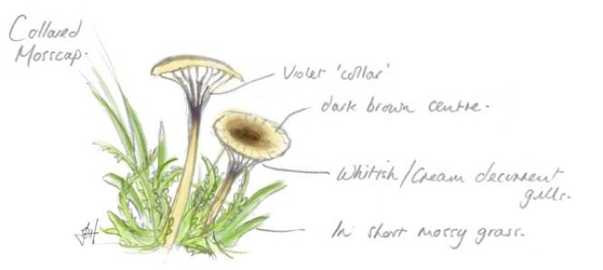 Rickenella swartzii drawing