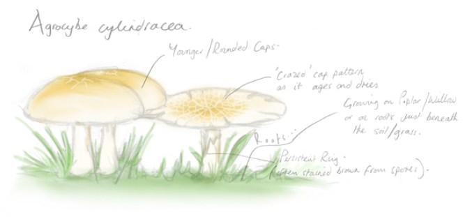 Poplar Fieldcap Sketch