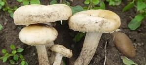 Fieldcap mushroom