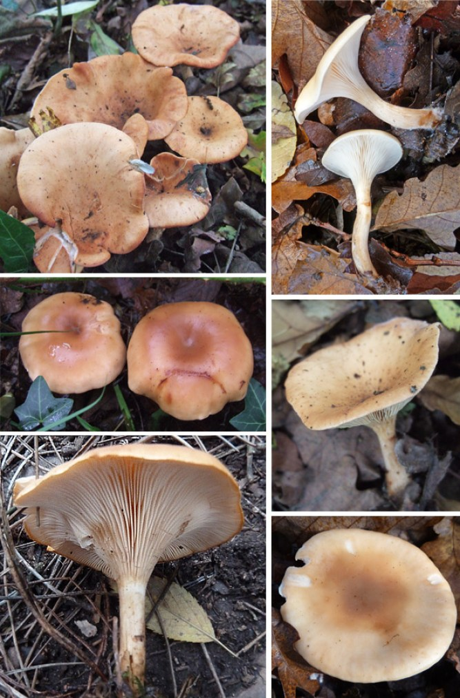 Tawny Funnel images