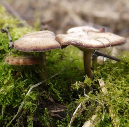 Winter Polypore Mushroom