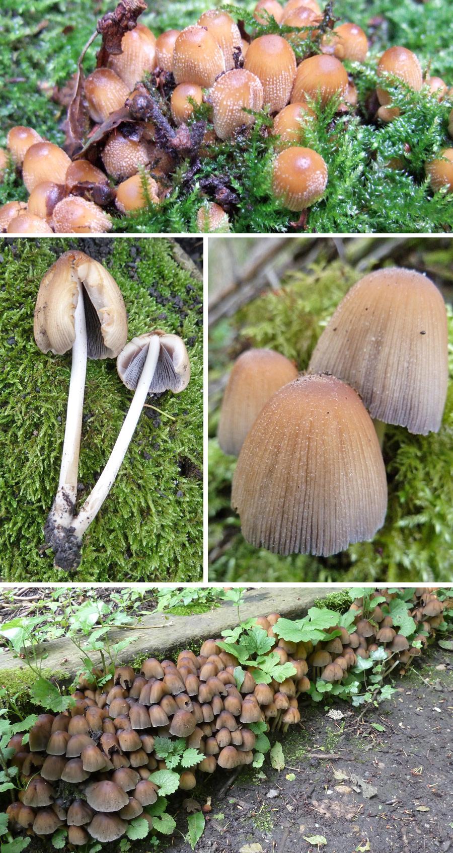 Glistening Inkcap(Coprinellus micaceus)