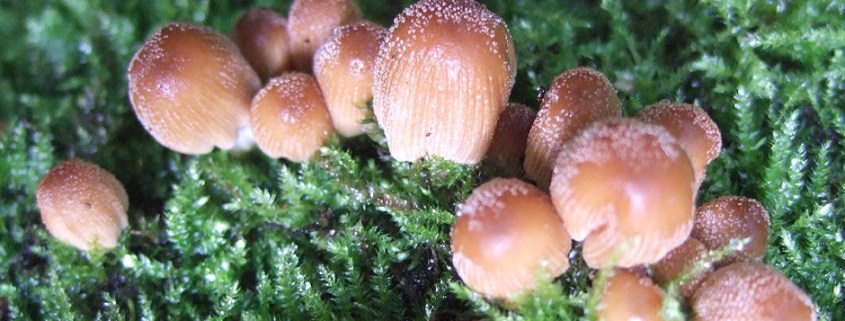 Coprinellus micaceus