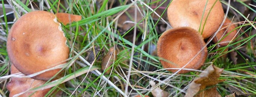 Birch Milkcap Mushroom