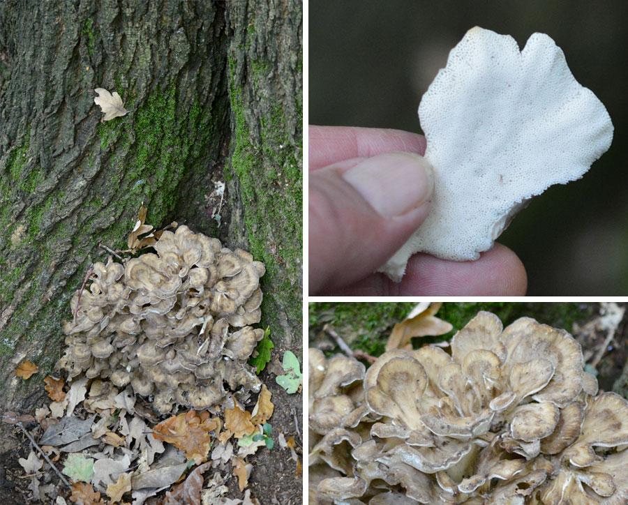 Hen of the Woods Fungi