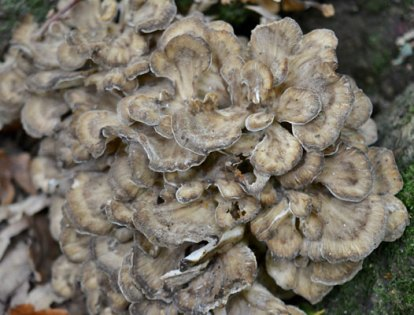 Hen of the Woods
