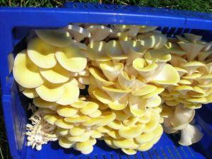 Yellow Oyster.JPG
