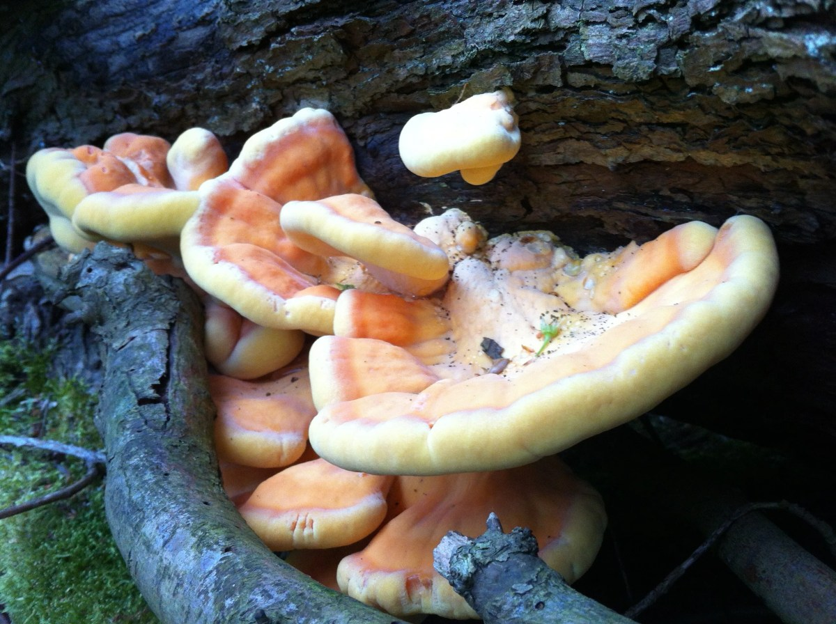 Young succulent brackets of Chicken of the Woods
