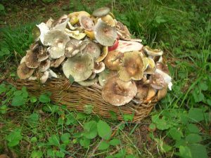 Basket of Charcoal Burners and Blackening Russulas with a few Beefsteak and Butter Boletes
