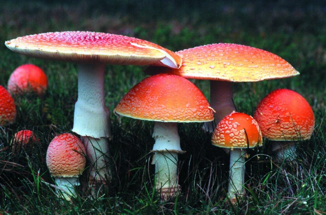 Amanita muscaria. Photo by Pam Kaminski.