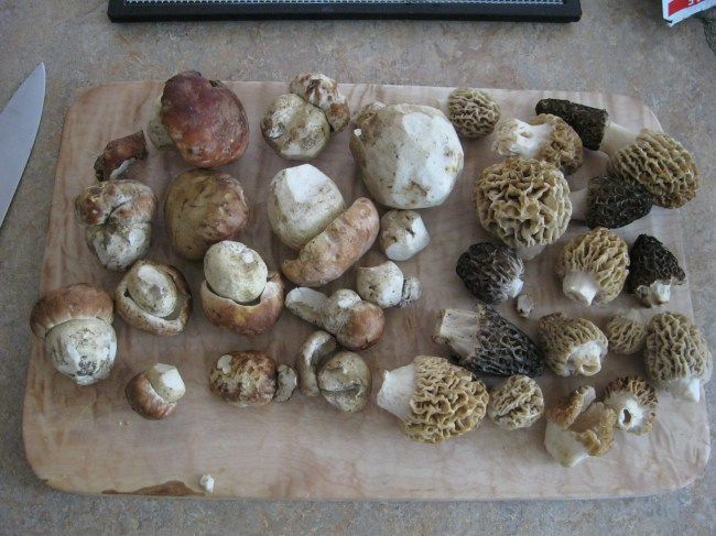 Spring boletes and morels, field-cleaned and ready for slicing Photo by Leon Shernoff