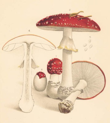 Amanita muscaria, illustration (by Louis Krieger) from Coville's 1898 pamphlet