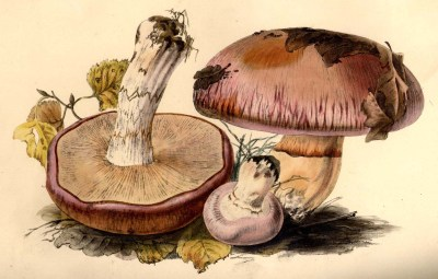The mid-19th century concept of Cortinarius glaucopus, as illustrated by Anna Maria Hussey.