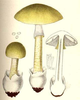 Amanita phalloides, from Giacomo Bresadola's Iconographia mycologica (1927)