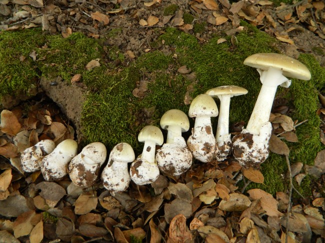 Amanita phalloides in various stages of growth