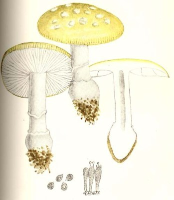 The European concept of Amanita gemmata (as A. jonquillea) Illustration from Giacomo Bresadola's Iconographia mycologica (1927)