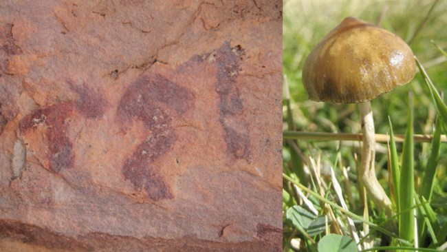Comparison of painted mushroom with present-day P. hispanica, showing the bent stem Photo of Psilocybe by Ignacio Serál