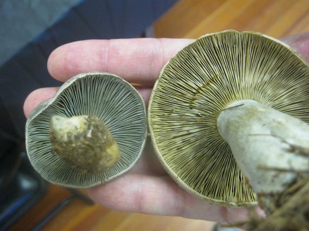 Lactarius chelidonium -- gills