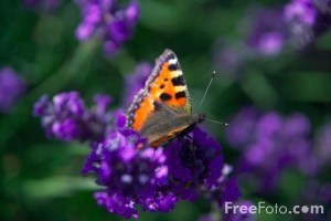 farfalla su un fiore viola