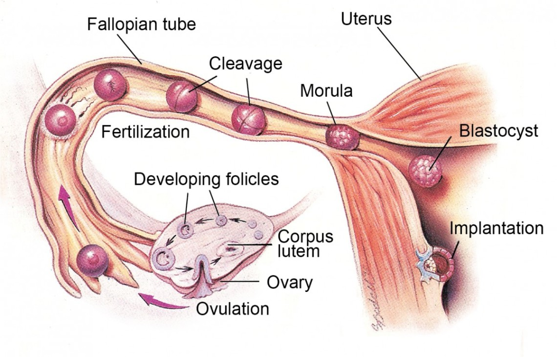 Ovulation – phases and how it can be detected