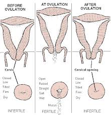 Cervical position before ovulation, during ovulation and after ovulation