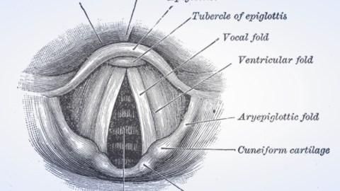 vocal cord