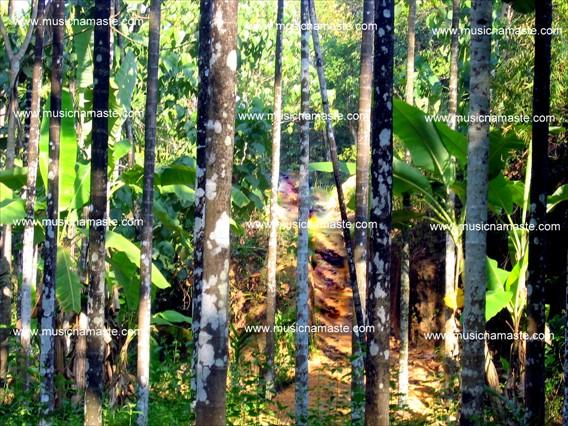 Banana tree estate
