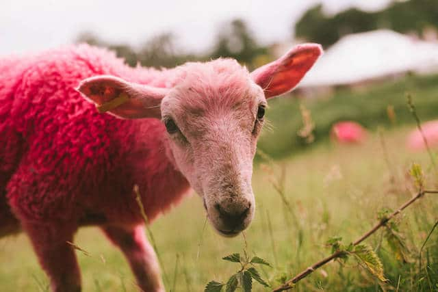 Sheep, live at Latitude 2016 (Photo: Carys Lavin)