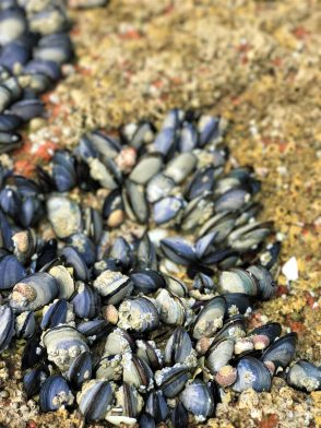 Mussels naturally growing along the beaches