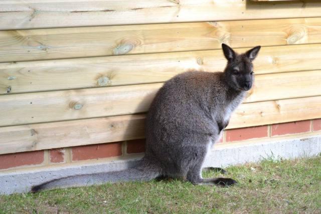 Wallaby at Paradise Wildlife Park
