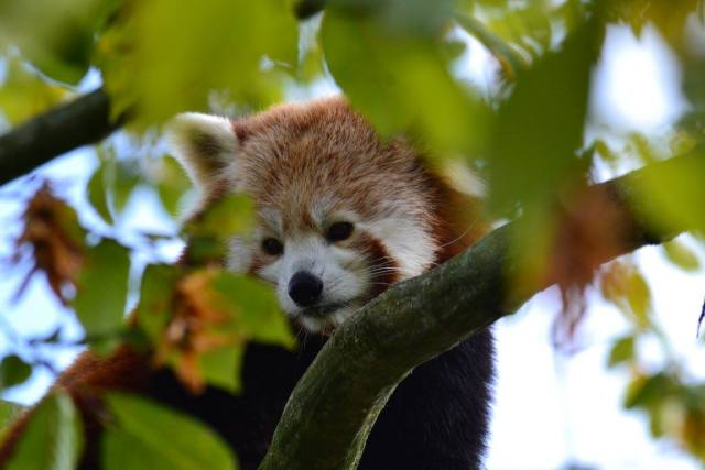 Red panda at Paradise Wildlife Park