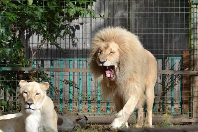 Lions at Paradise Wildlife Park
