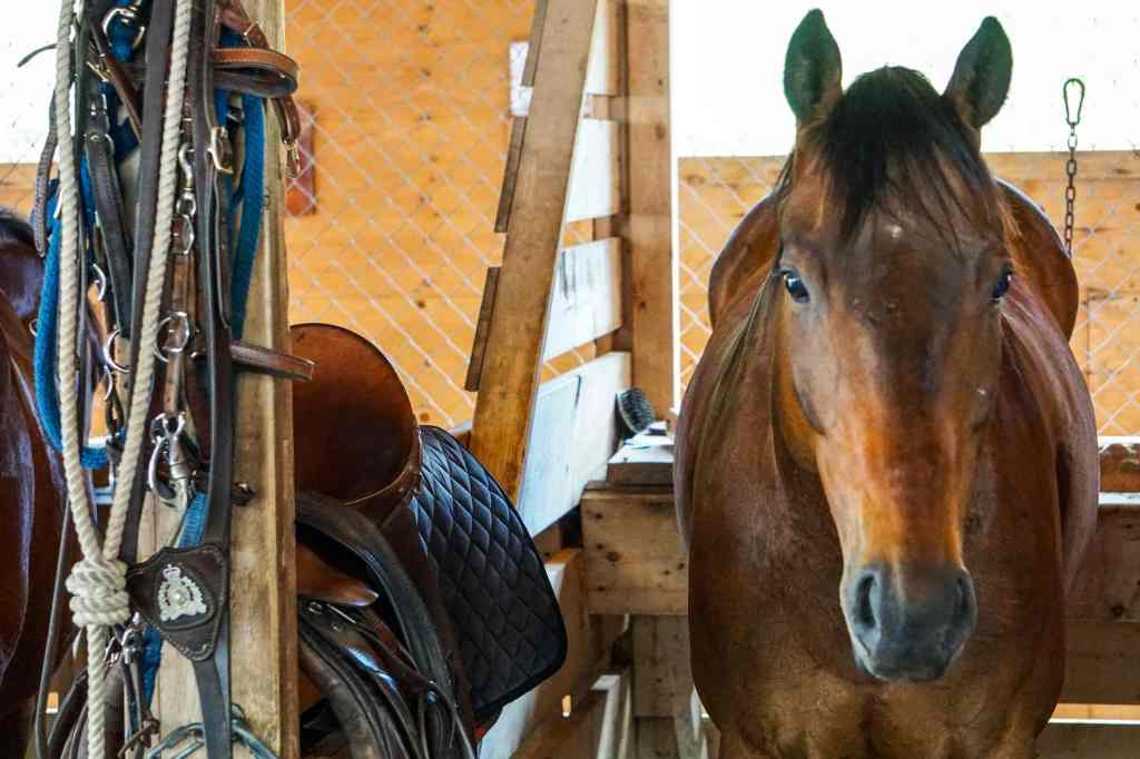 RCMP Musical Ride Horses
