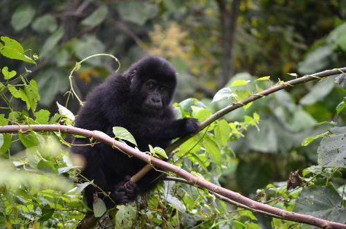 baby gorillas in uganda