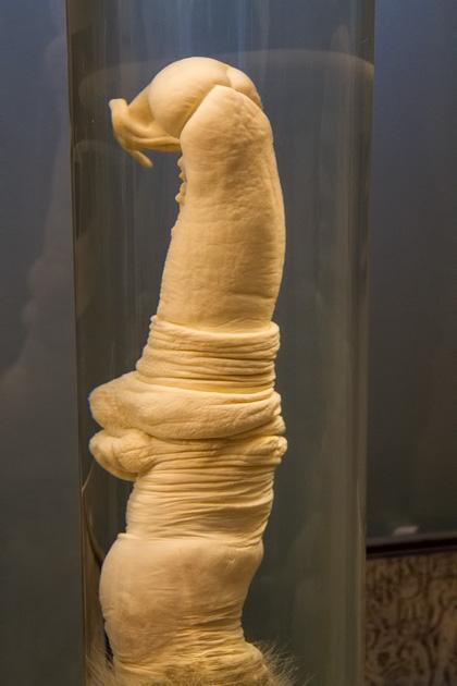 Giraffe Penis