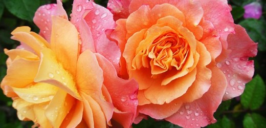 Ką simbolizuoja rožių spalvos?