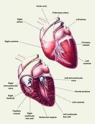 gejala jantung koroner dan cara pengobatan herbal