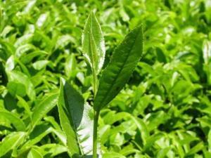 Bitkisel yağlar çay agacı