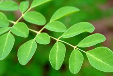 Moringa Bitkisinin Çok Önemli 10 Faydası ve Nasıl Kullanılır