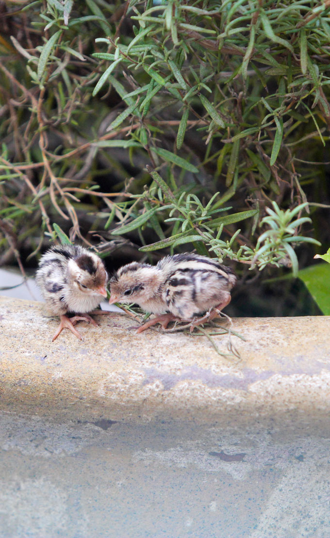 Baby quail leaving the nest after hatching