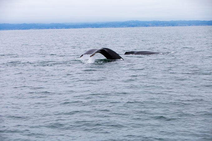 Northern California hump back mother and calf in Monterrey Bay