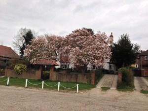 Magnolias 22nd April 2013