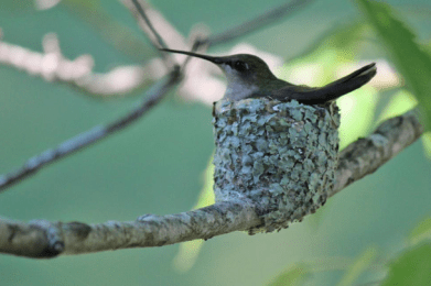 photo by Donna Ottinger of hummingbird on nest