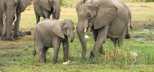 Elefant Karlik